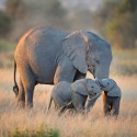 Amboseli Elephants Conservation